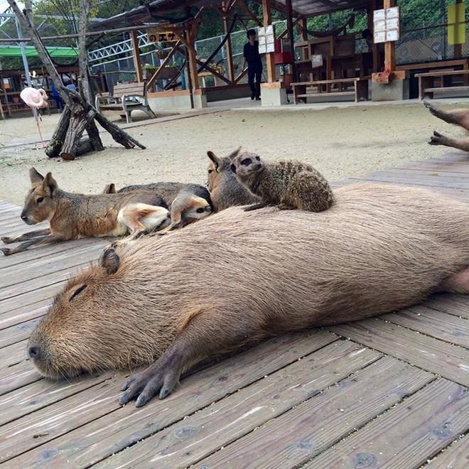 Capybara - Vertebrate - のエサ