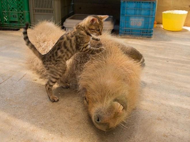 Capybara - Cat