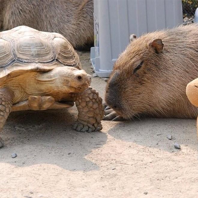 Capybara - Tortoise