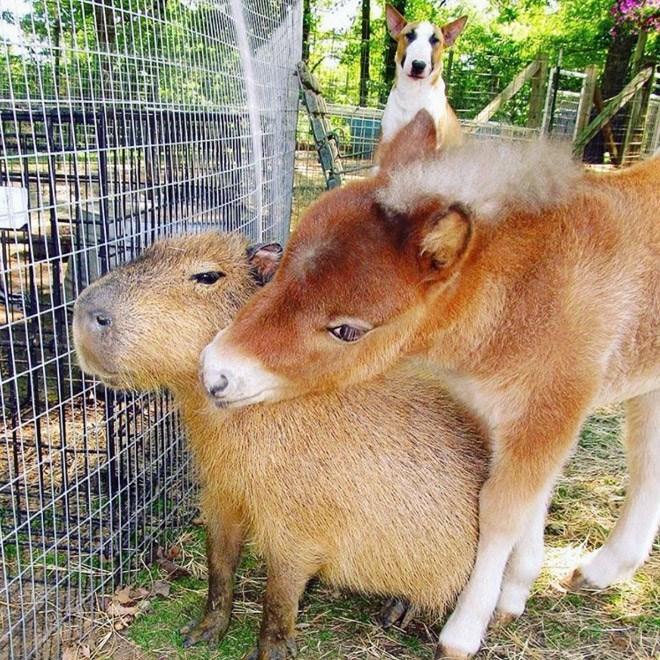 Capybara - Mammal