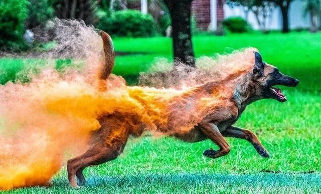 dog looks like he is running while on fire
