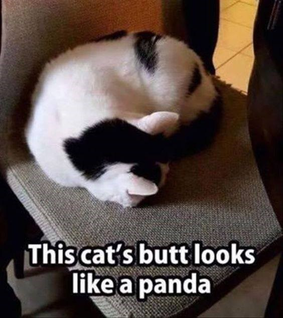 Photo caption - This cat's butt looks like a panda