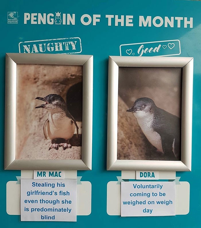 Adaptation - PENG IN OF THE MONTH NATIONA AQUARIUM Good NAUGHTY MR MAC DORA Stealing his girlfriend's fish even though she is predominately Voluntarily coming to be weighed on weigh day blind