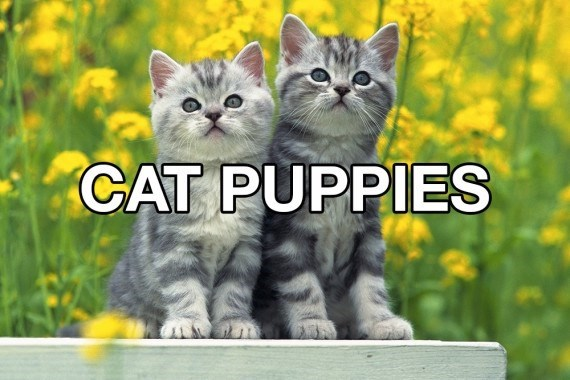 Cat - CAT PUPPIES