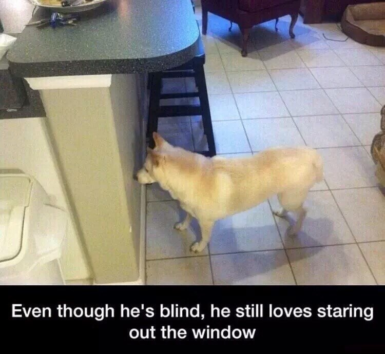 """Dog meme that reads, """"Even though he's blind, he still loves staring out the window"""""""