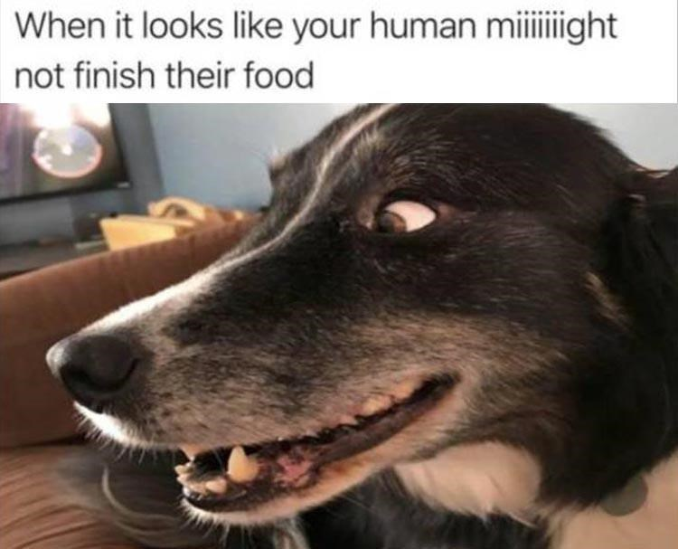 Dog breed - When it looks like your human miiight not finish their food
