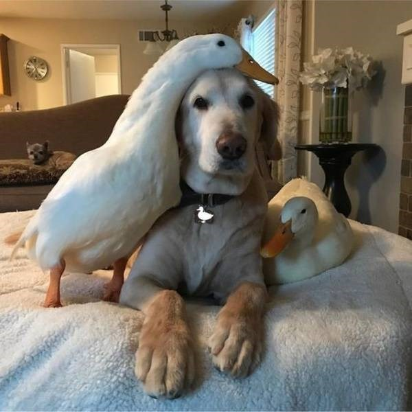 duck with a dog and another duck