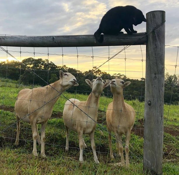 cat and goats