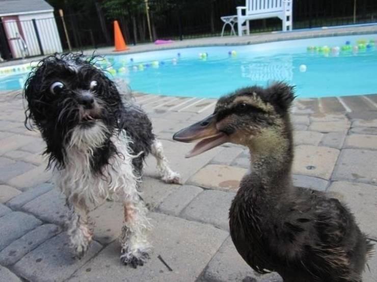 duck meets dog