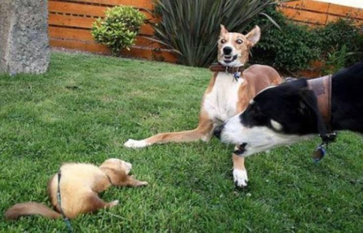 Dogs meet platapus