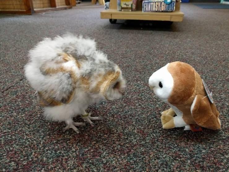 Barn owl - FAMTASY GULE