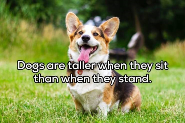 Dog - Dogs are tallerwhen they sit than when they stand.