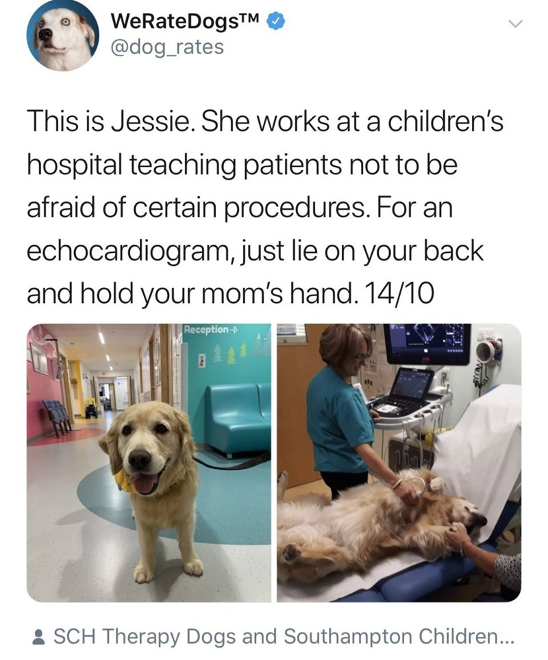 Dog breed - WeRateDogsTM @dog_rates This is Jessie. She works at a children's hospital teaching patients not to be afraid of certain procedures. For an echocardiogram, just lie on your back and hold your mom's hand. 14/10 Reception-> SCH Therapy Dogs and Southampton Children...