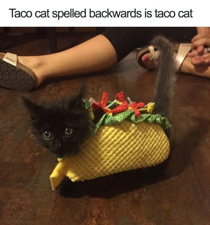 Cat - Taco cat spelled backwards is taco cat