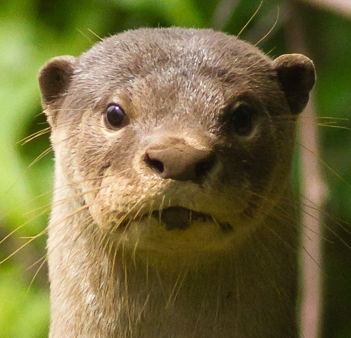 otter - Mammal