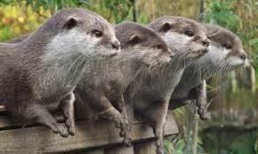 otter - Vertebrate