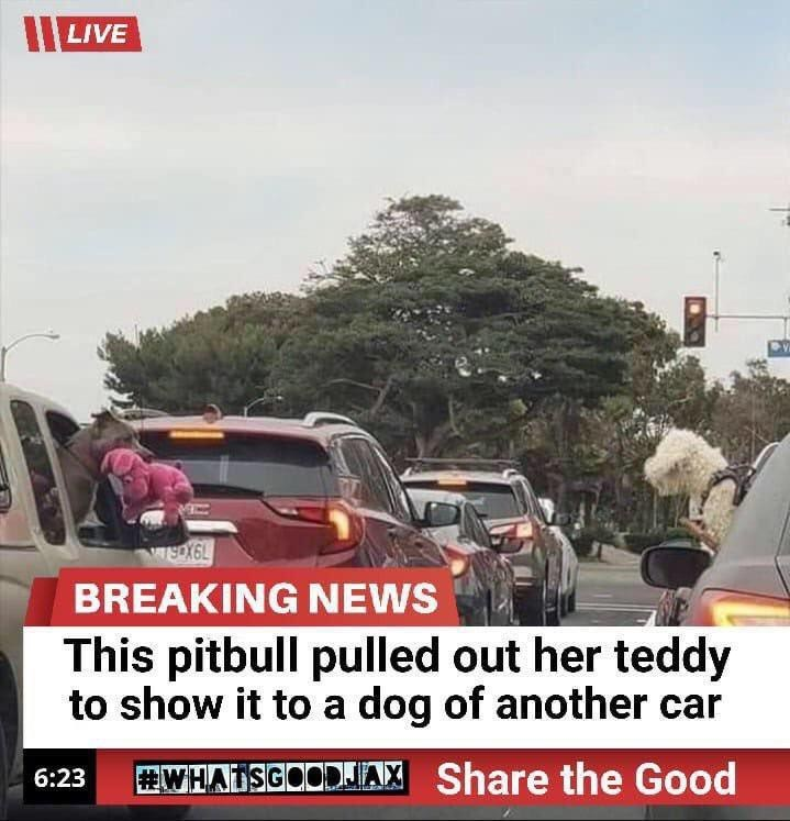 Motor vehicle - II LIVE WeX6L BREAKING NEWS This pitbull pulled out her teddy to show it to a dog of another car WHATSGOODJIA, Share the Good 6:23