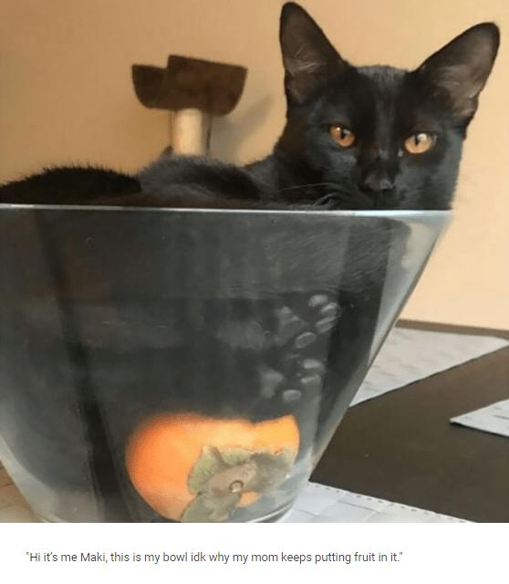 "Cat - ""Hi it's me Maki, this is my bowl idk why my mom keeps putting fruit in it."""