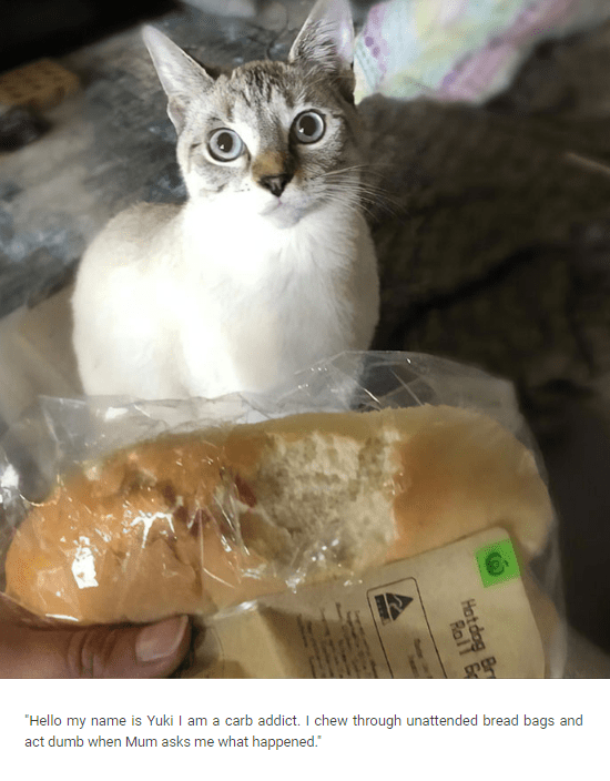 Cat - Hello my name is Yuki I am a carb addict. I chew through unattended bread bags and act dumb when Mum asks me what happened. Hatd