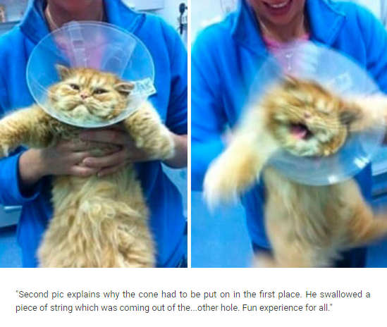"""Cat - """"Second pic explains why the cone had to be put on in the first place. He swallowed a piece of string which was coming out of the... other hole. Fun experience for all"""""""