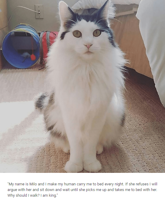 """Cat - """"My name is Milo and I make my human carry me to bed every night. If she refuses I will argue with her and sit down and wait until she picks me up and takes me to bed with her. Why should I walk? I am king."""""""