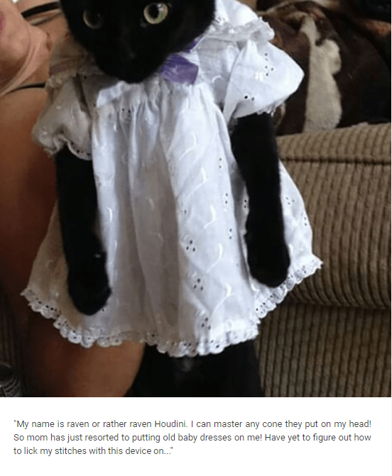"""Cat-shaming meme that reads, """"My name is raven or rather raven Houdini. I can master any cone they put on my head! So mom has just resorted to putting old baby dresses on me! Have yet to figure out how to lick my stitches with this device on.."""""""