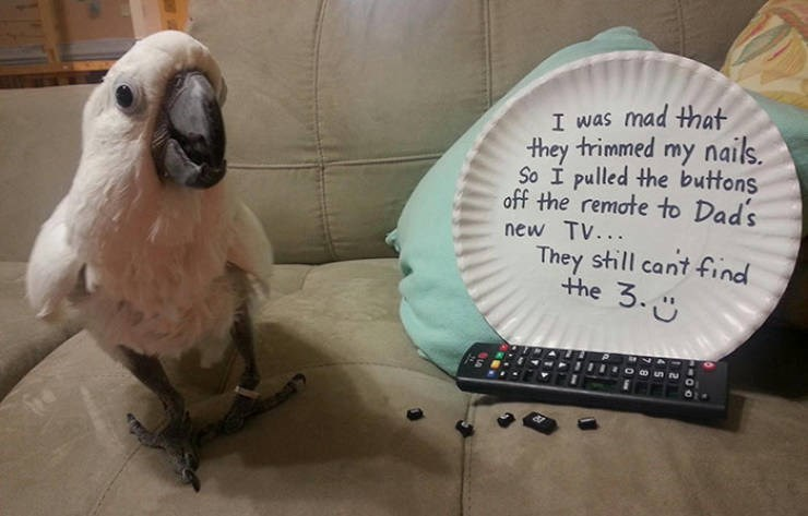 Bird - I was mad that they trimmed my nails So I pulled the buttons off the remate to Dad's new TV... They still cant find the 3.