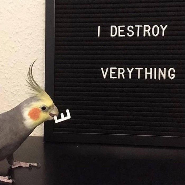 Cockatiel - DESTROY VERYTHING