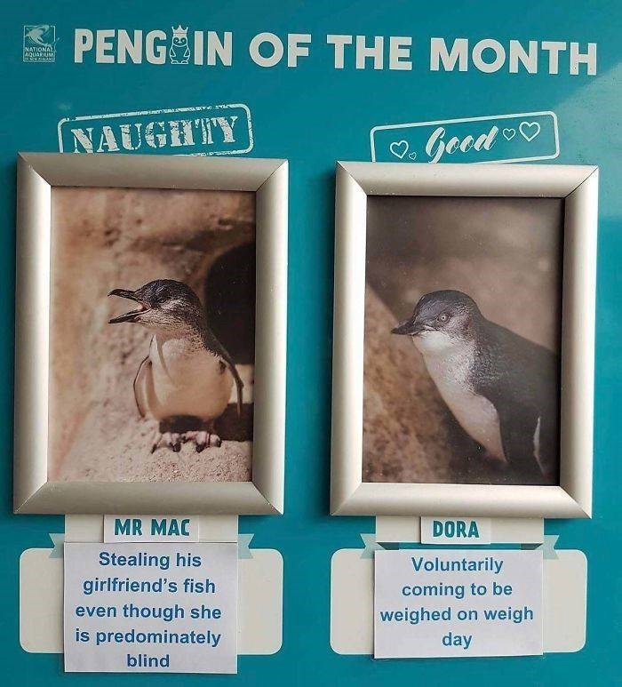 Bird - PENG IN OF THE MONTH NATIONAL OuARIIMt INAUGHTY Geed MR MAC DORA Stealing his girlfriend's fish Voluntarily coming to be weighed on weigh day even though she is predominately blind