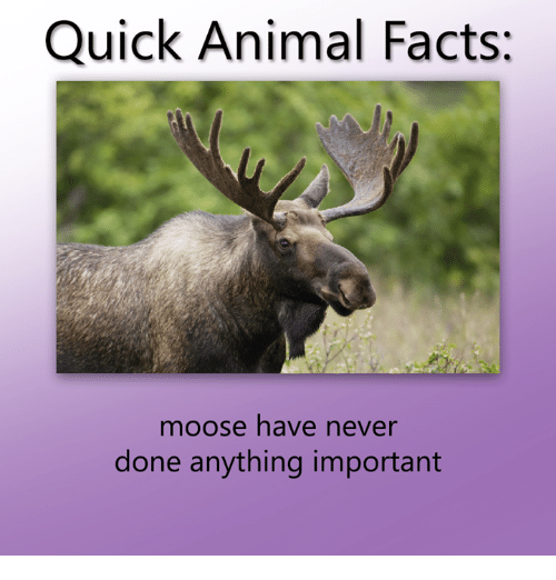 Wildlife - Quick Animal Facts: moose have never done anything important