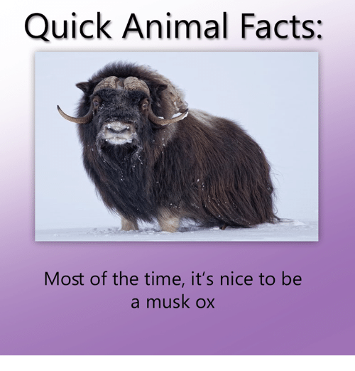 Muskox - Quick Animal Facts: Most of the time, it's nice to be a musk ox