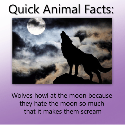 Text - Quick Animal Facts: Wolves howl at the moon because they hate the moon so much that it makes them scream