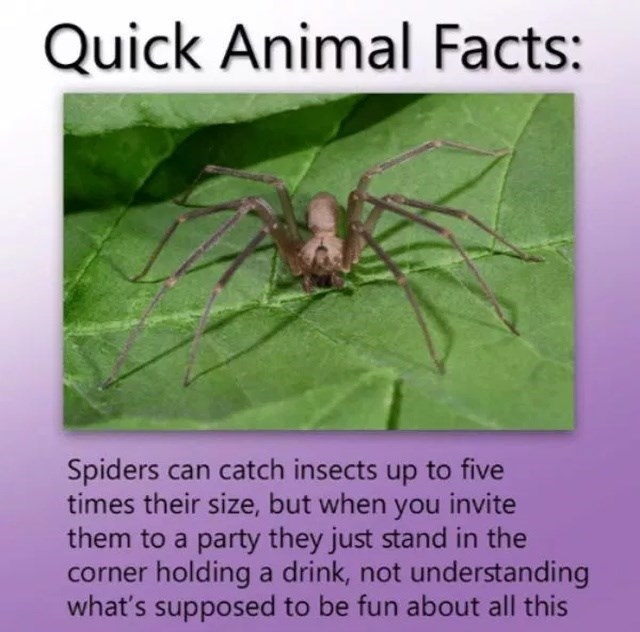 Spider - Quick Animal Facts: Spiders can catch insects up to five times their size, but when you invite them to a party they just stand in the corner holding a drink, not understanding what's supposed to be fun about all this