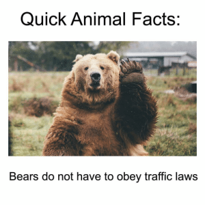 Brown bear - Quick Animal Facts: Bears do not have to obey traffic laws