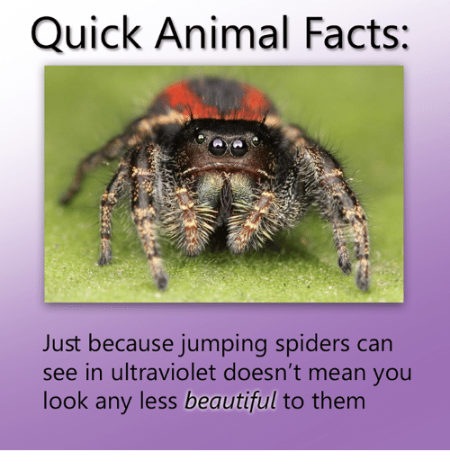 Spider - Quick Animal Facts: Just because jumping spiders can see in ultraviolet doesn't mean you look any less beautiful to them