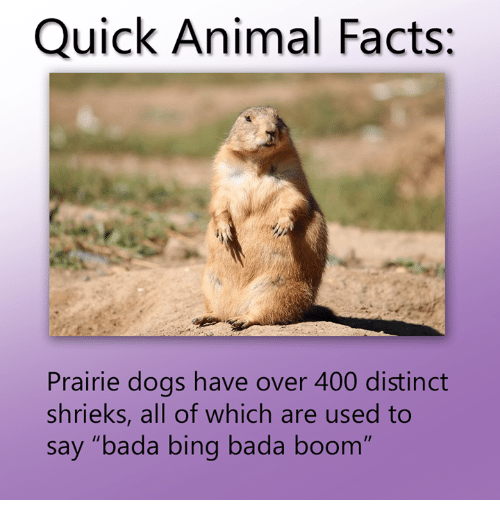"""Prairie dog - Quick Animal Facts: Prairie dogs have over 400 distinct shrieks, all of which are used to say """"bada bing bada boom"""""""
