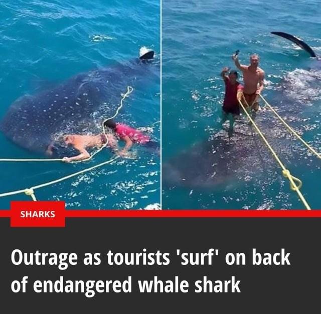 trashy moment - Whale shark - SHARKS Outrage as tourists 'surf' on back of endangered whale shark