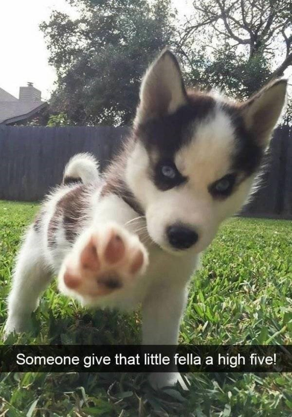 dog snapchat - Siberian husky - Someone give that little fella a high five!