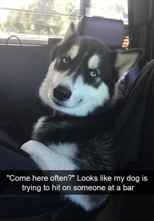 "dog snapchat - Siberian husky - ""Come here often?"" Looks like my dog is trying to hit on someone at a bar"