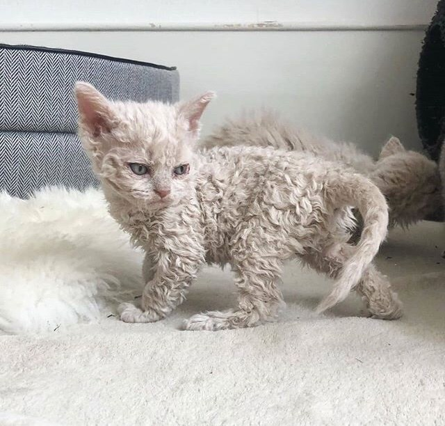 poodle kitten - Cat with poodle hair gives an angry look after seeing a fluffy ikea style blanket