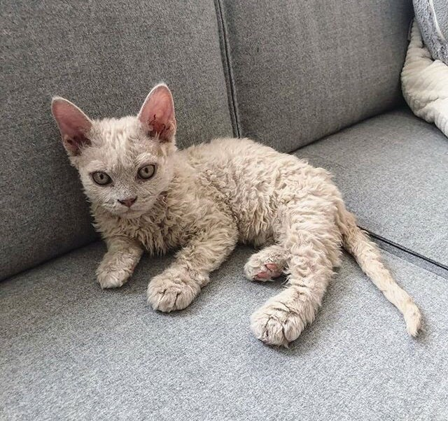 poodle kitten is as shocked as you are at how cute he is