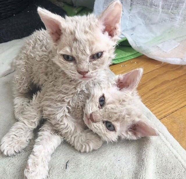 2 poodle kittens cuddling it up on a wooden surface covered by a towel