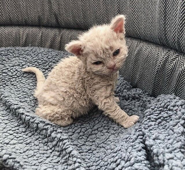 poodle kitten - Cat - Fluffy kitten on a fluffy blanket