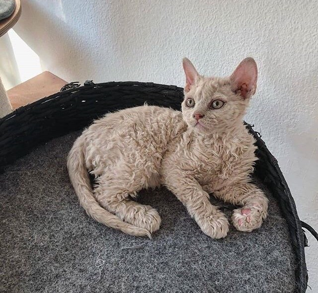 poodle kitten - Cat just chilling in her spot