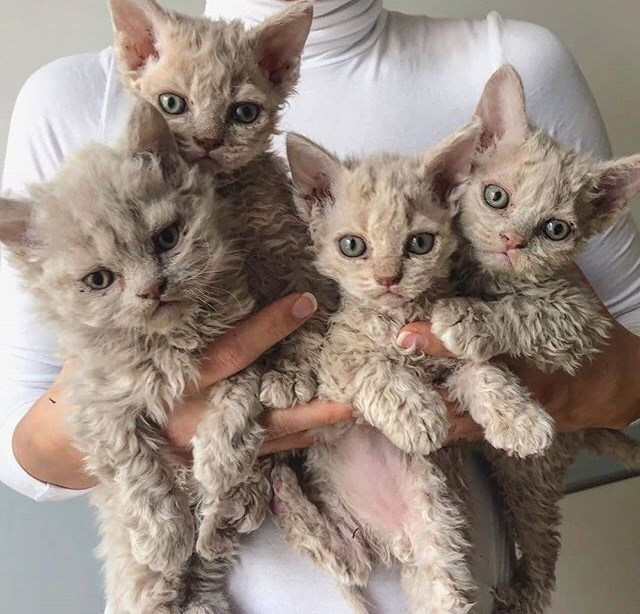 four poodle kittens which is about the limit of what a human can hold