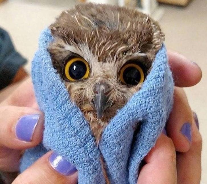 baby animal - Owl