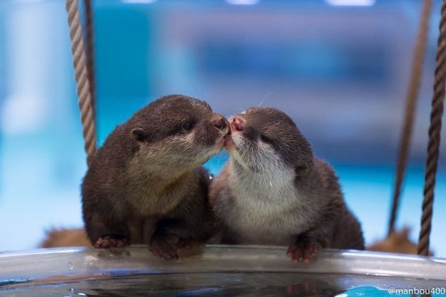 cute otters - Mink - @manbou400