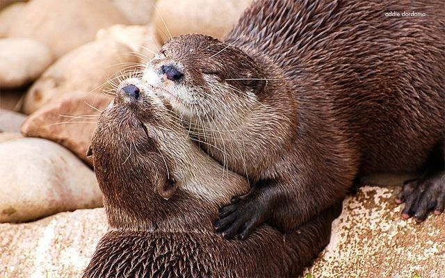 cute otters - Mammal - addie dordoma