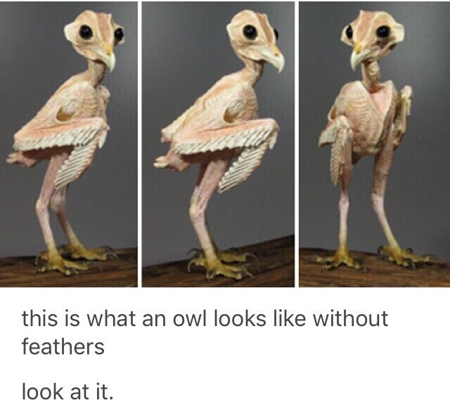 Adaptation - this is what an owl looks like without feathers look at it.