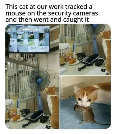 wholesome animal meme - Cat - This cat at our work tracked a mouse on the security cameras and then went and caught it